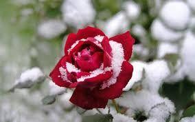 Resultado de imagen para jardines de rosas blancas en la nieve