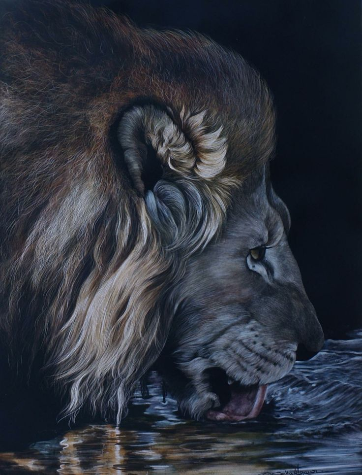 "18"" wide by 24"" tall This peice received a second place award in the Irving National Wildlife Show 2011. It features a very thirsty lion who spent the whole night defending his kill from hyenas. - scratchboard by Sally Maxwell"