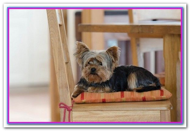Best Dry Dog Food For Yorkies Uk Yorkie Dogs Yorkshire Terrier Puppies Dog Breeds