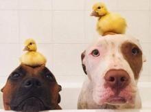 В Австралии собаки, взятые из приюта, опекают утят : Новости : Викна-Одесса