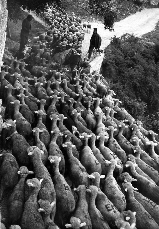 Robert Doisneau // Animals: Transhumance - Le troupeau et les bergers 1958