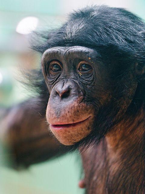 Portrait of a bonobo II | Flickr - Fotosharing!