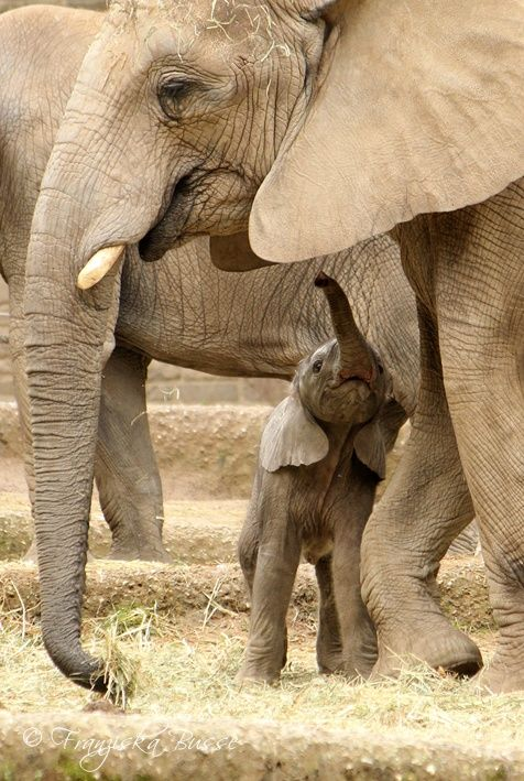 Baby elephant looking up to his mom | Every 15 Minutes we lose another elephant to poaching for Ivory. When you like, share, pin from IvoryForElephants we gain media $$$ to help save them.