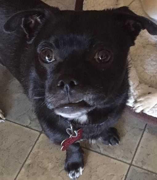 Pug dog for Adoption in Boston, MA. ADN-489891 on PuppyFinder.com Gender: Male. Age: Adult