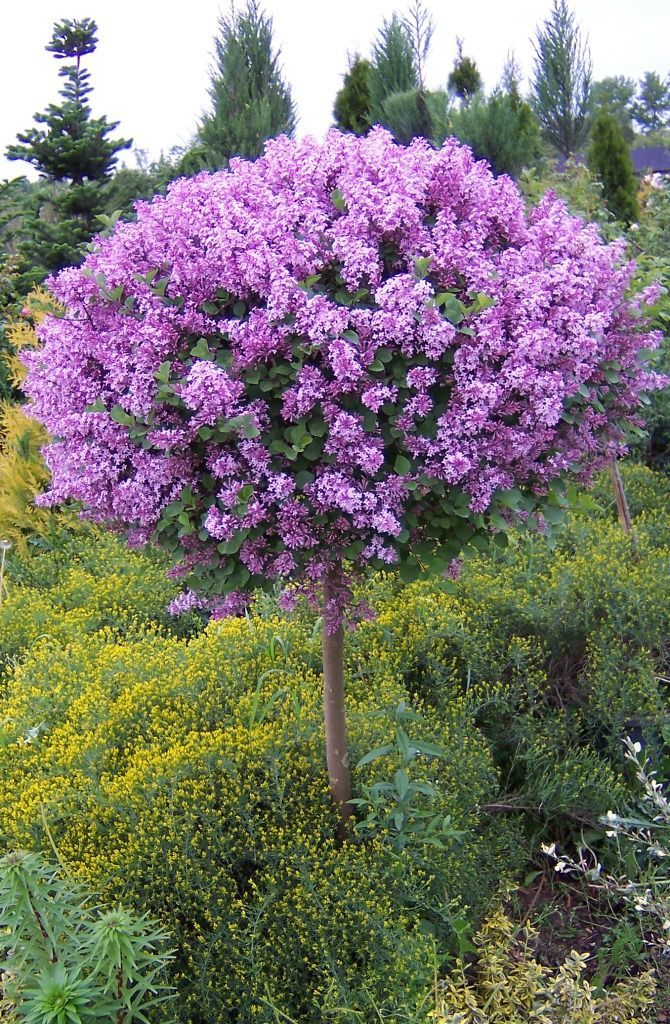the 25+ best arbuste sur tige ideas on pinterest   arbustes lilas