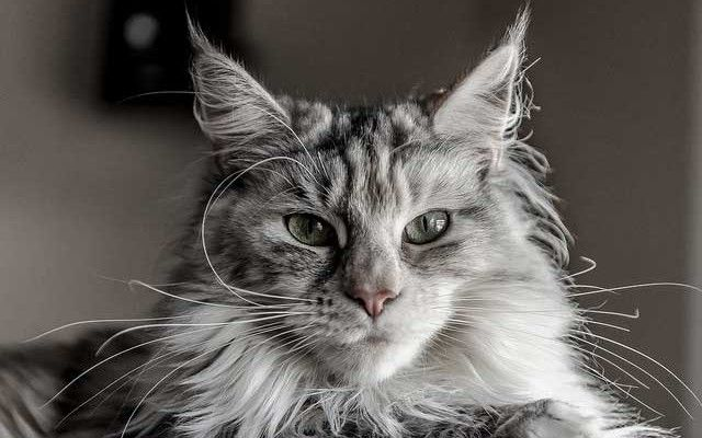 Molto spesso l'allergia al gatto, o meglio a certe sostanze della sua saliva che sparge sul pelo nelle operazioni di pulizia, è un problema che mette in crisi le persone che ne soffrono ed è la causa principale che porta alla dura decisione di dividersi dall'amato amico peloso. Scopriamo i sintomi, i rimedi e le soluzioni possibili per capire se possiamo evitare dolorose scelte. http://www.amicomainecoon.it/allergia-al-gatto-cosa-fare-sintomi-rimedi-e-soluzioni/ #allergia #gatti #mainecoon