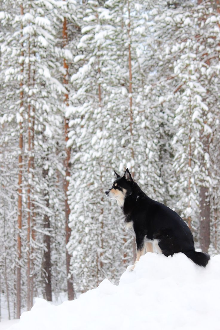 Trees and a dog. Lapponian herder Räpsy from Lapland