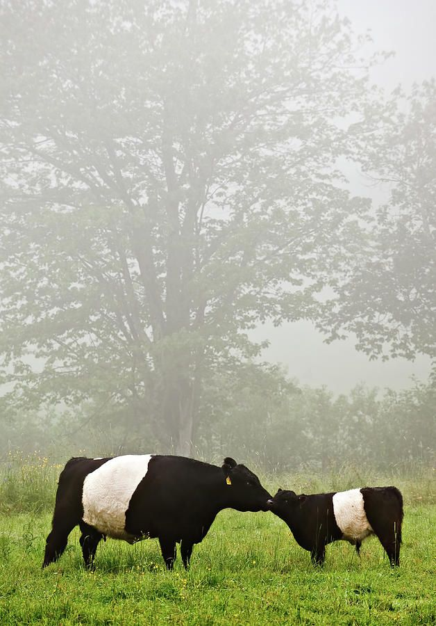 Mother Cow Nuzzles Calf. Photograph  - Mother Cow Nuzzles Calf. Fine Art Print