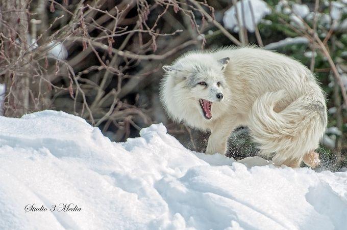 """Photo """"ArcticFox_DSC5956"""" by michelbissonnette"""