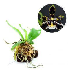 "Phalaenopsis Manii ""Black"" Rp 1,100,000"