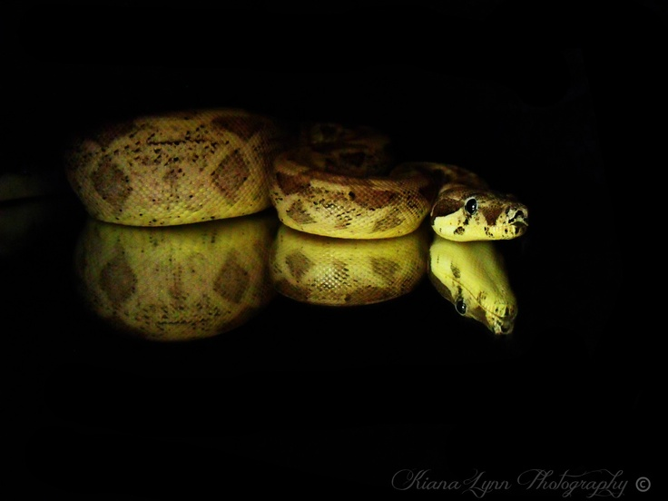 Ivory line Ghost boa sitting on mirror with black background.