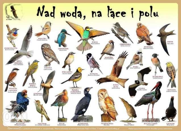 Plakaty edukacyjne Ptaki w Polsce Szczecin - image 2