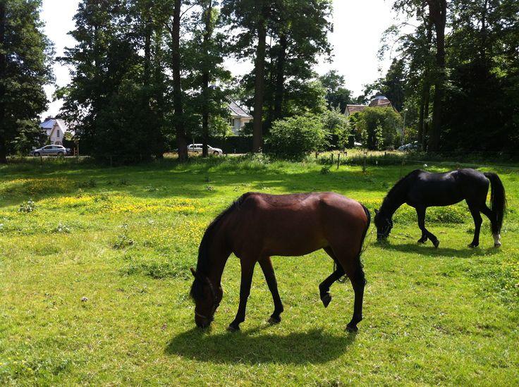 Paarden op de Ossenweide bij het Villapark.