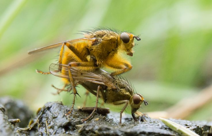 Oh shit! - Yellow dungflies on sheep dung. A place suitable for fighting for females, copulation, oviposition and feeding. Dungflies are considered predators, but at least females seemingly may feed on the dung itself.