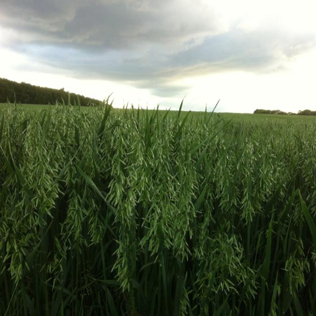 Havremarken inden regnen sætter ind