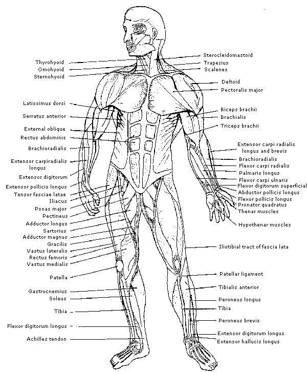 Muscle Diagram Human Body