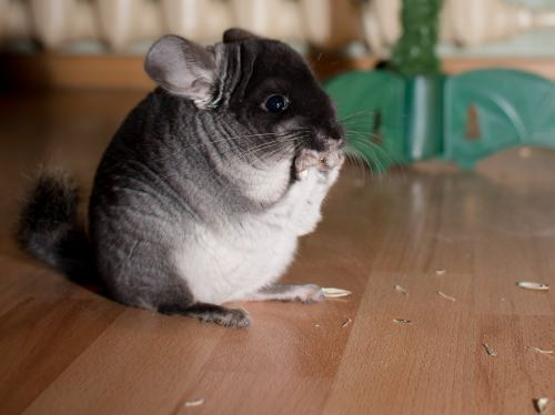 Soooo cute and incredibly soft & fluffy! | 10 Important Tips for Caring for Chinchillas | Pets & Pets Care