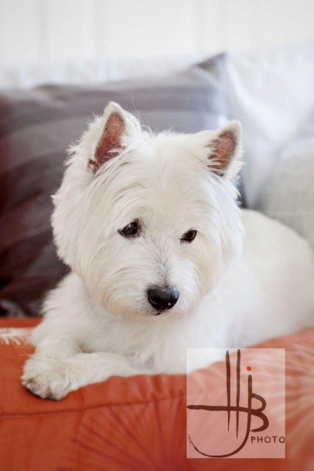 portrait of a westie dog at home by   Heidi Brady
