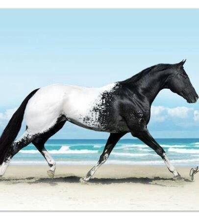Black Appaloosa with beautiful white blanket