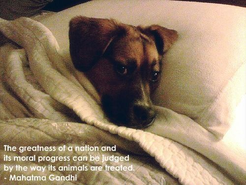 The greatness of a nation and its moral progress can be judged by the way its animals are treated. - Mahatma GandhiPets Portraits, Dogs Quotes, Animal Right, Mahatma Gandhi, Animal Baby, Animal Quotes, Gandhi Quotes, Baby Animal, Wise Words