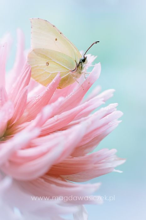 White Butterfly on a Pink Flower.