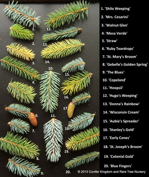 Dwarf Conifers Conifer Pinterest