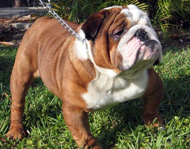 Le bulldog anglais : 2.000 euros pour ses babines pendantes Trapu, court sur pattes, ce molosse se reconnaît à sa tête grognon et ses babines pendantes. Affectueux, son tempérament convient bien à une vie sédentaire. Avant de craquer, sachez que son prix, assez élevé, se situe autour des 2.000 euros.>>> Pour votre chien ou votre chat,  testez notre comparateur d'assurances animaux