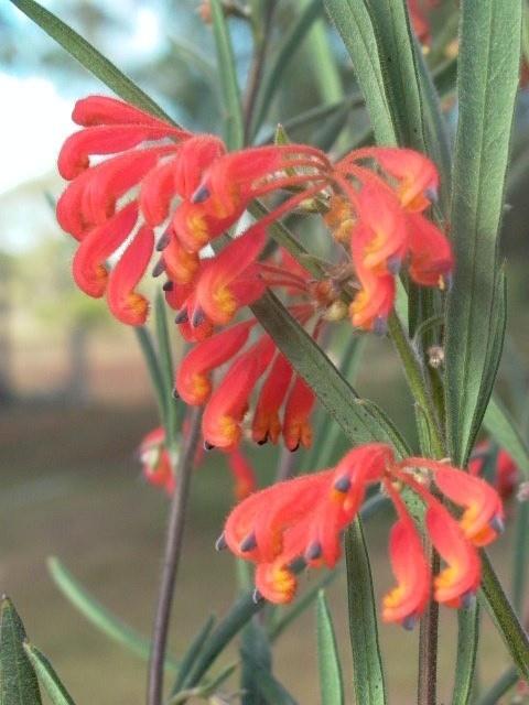 http://www.australisplants.com.au/ornamentals/images/grafted/grevilleaBronwenae1.jpg