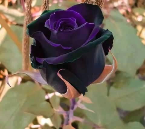 glorious deep purple rose