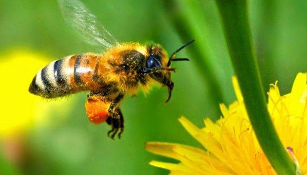 LE PLUS. La production de miel en France en 2014 a diminuéde près d'un tiers par rapport à l'année précédente. Son plus bas niveau depuis plus de 20 ans. En cause: une forte mortalité de nos abeilles. C'est vrai que les pesticides, les frelons asiatiques et de mauvaises conditions météorologiques n'aident pas. Mais pour Maurice Puthod, apiculteur depuis 60 ans, le vrai problème vient de nos fleurs.