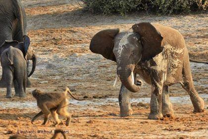 "Nothing like a little ""monkeying around""... brave Baboon vs cheeky little Elephant!"