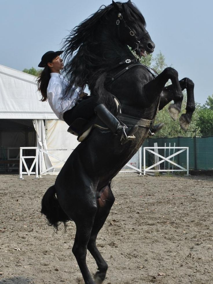 """Raised in the island of menorca in the balearic Islands, the horse has a recent history, considering the official establishment of the minorcan breed, which occurred only 17 years ago, but has roots that are lost in time. the way to ride in minorca was influenced by dressage, especially in """"levade"""", walking on its hind legs."""