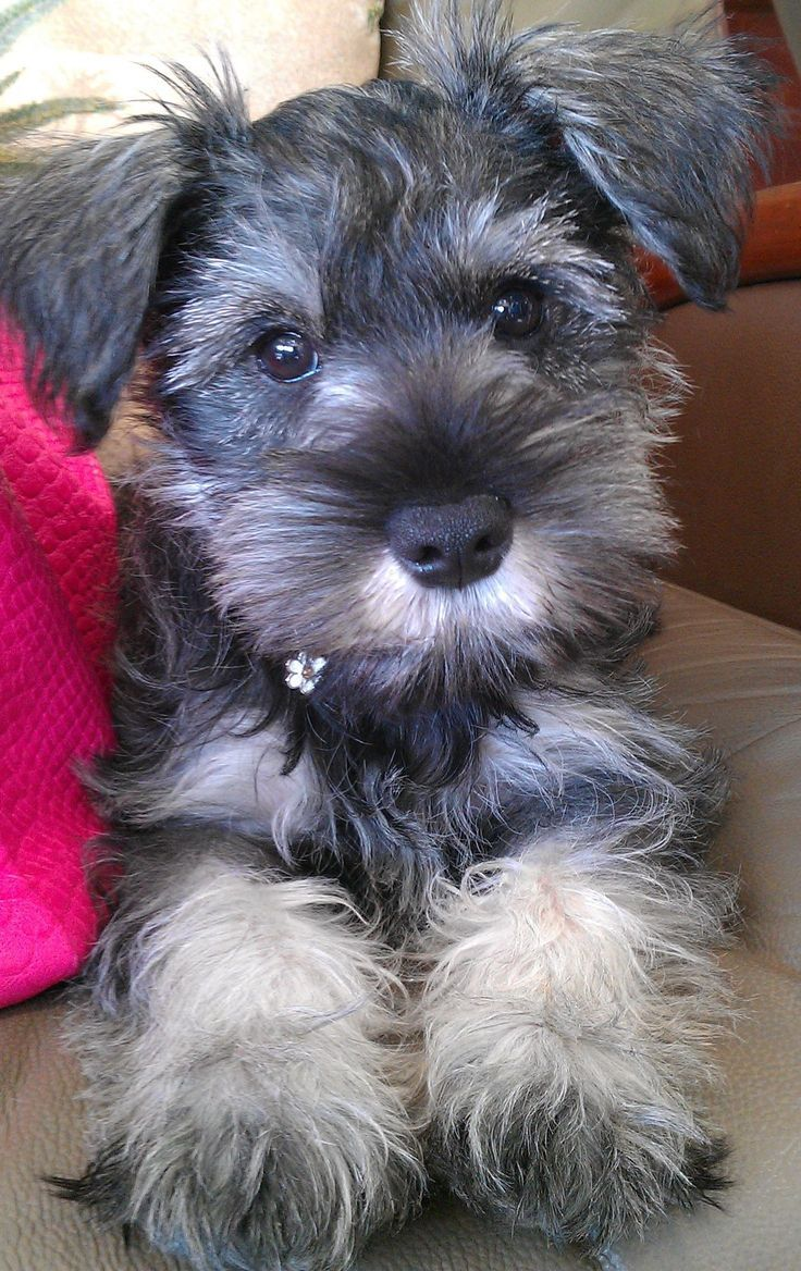 13 Of The Most Trainable Breeds Miniature Schnauzer Puppies Schnauzer Puppy Mini Schnauzer Puppies