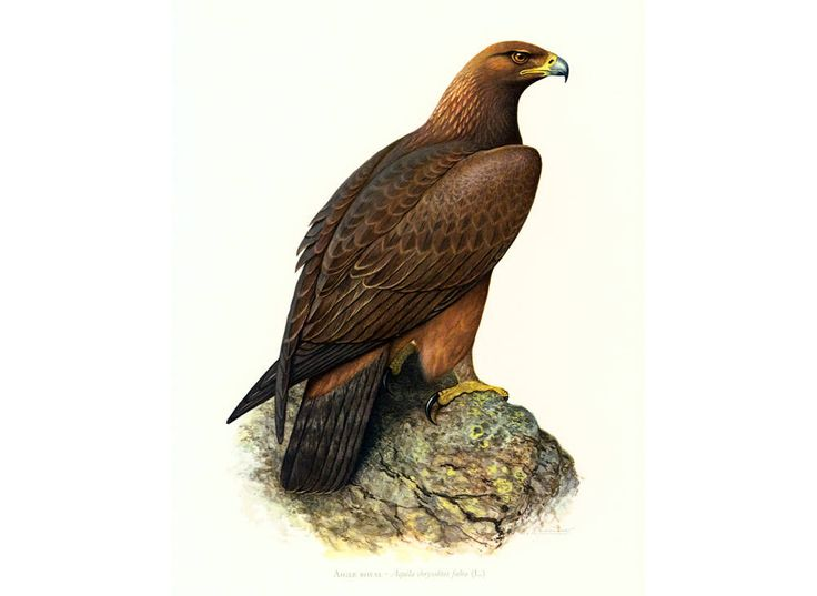 1961 Aigle Royal, Aigle imperial, illustration oiseau de proie ornithologie Decor mural Nature de la boutique sofrenchvintage sur Etsy