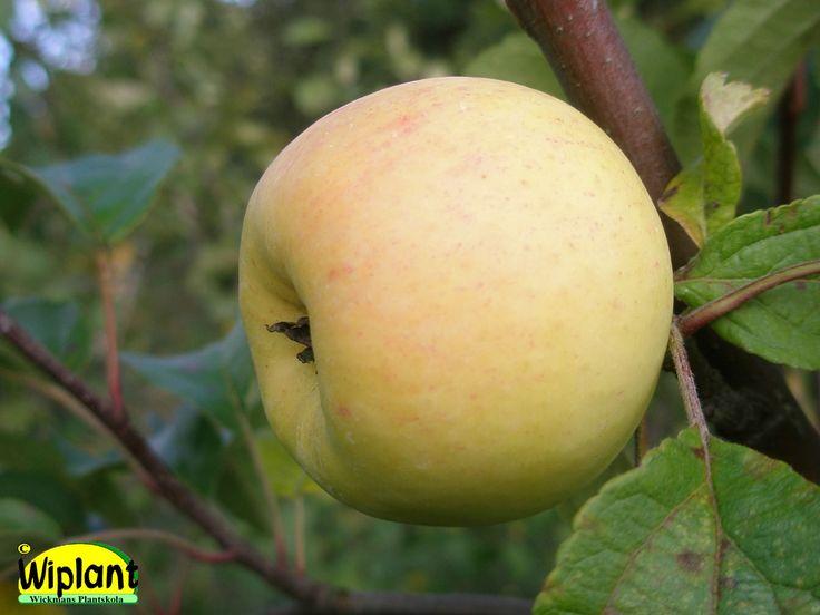 Malus domestica Borgovskoje, sommarsort. Gammal rysk sort som påminner om Transparente Blanche. Frukten är medelstor, ljus, söt och mognar i början av augusti. Unga träd ger stora frukter.