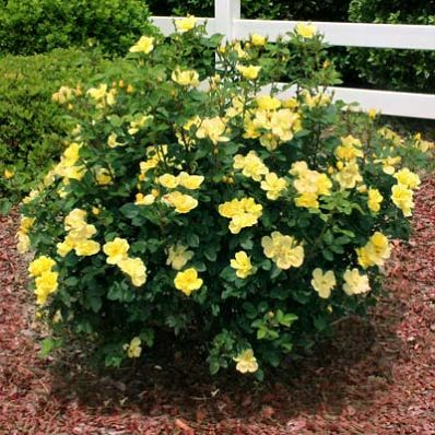 Amazing Fragrance & Knockout Blooms!  - The Sunny Knockout Rose is famous for... • Sweet-smelling flowers- the first fragrant Knockout • Long lasting color- up to 9 months of bright yellow blooms • One tough plant- very low maintenance • Fast growth- large plants give you blooms quick  The Sunny Knockout is...