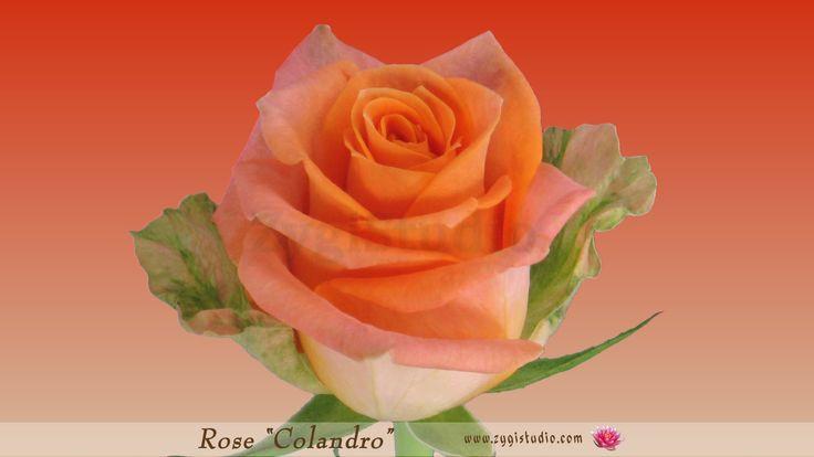 """Timelapse of Opening Orange """"Colandro"""" Rose."""