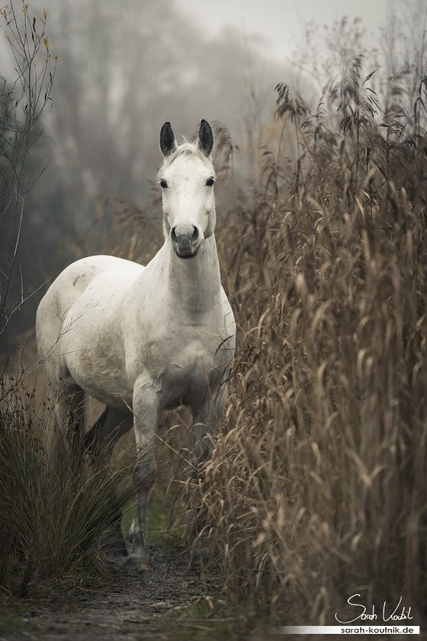 Light Grey Horse in a cornfield... I think he/she is good with that since there are always ears of corn that have been missed when harvested... ;-)
