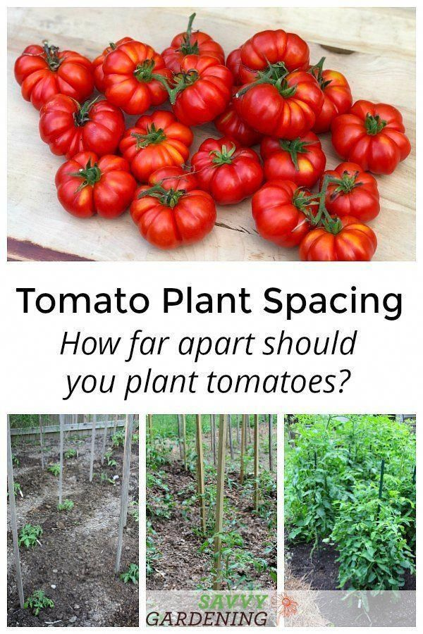 Not Sure How Far Apart To Plant Tomatoes In A Vegetable Garden It Depends On The Types Of Tomatoes You Re Gr Tomato Garden Tomato Plants Vegetable Garden Tips