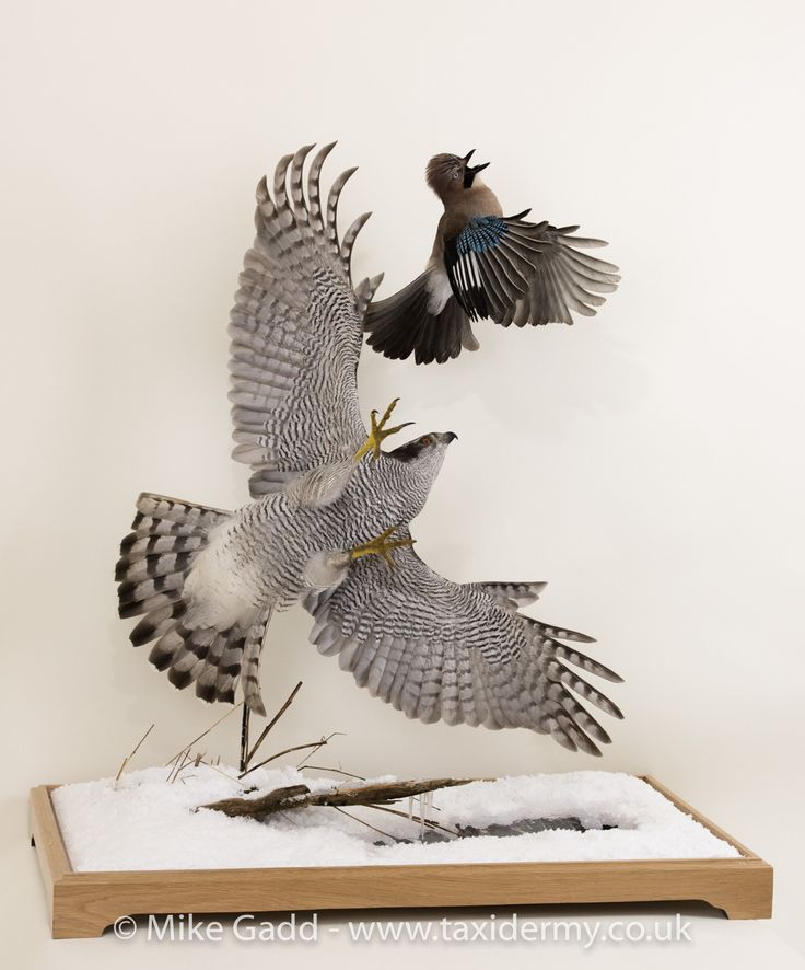 Goshawk taxidermy chasing jay in flight bird taxidermy by Mike Gadd cased in Snow Scene with fake broken ice on a puddle and melted snow edge