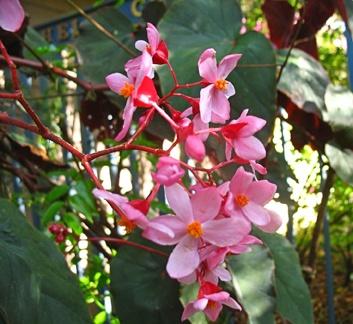 Begonia 'Gene Daniels' - Annie's Annuals