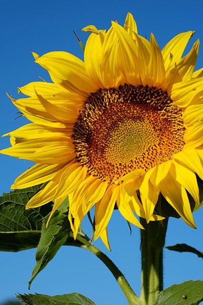 Girasole - Sunflower