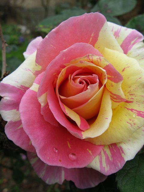 Pink & Yellow Garden Rose, St Nicholas Church Kenilworth Warwickshire