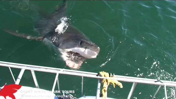 When you go shark cage diving,  it's good advice to listen to your friends