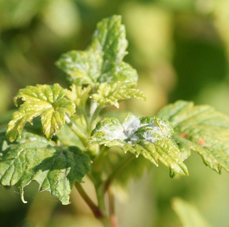 Мучнистая роса на листьях чёрной смородины
