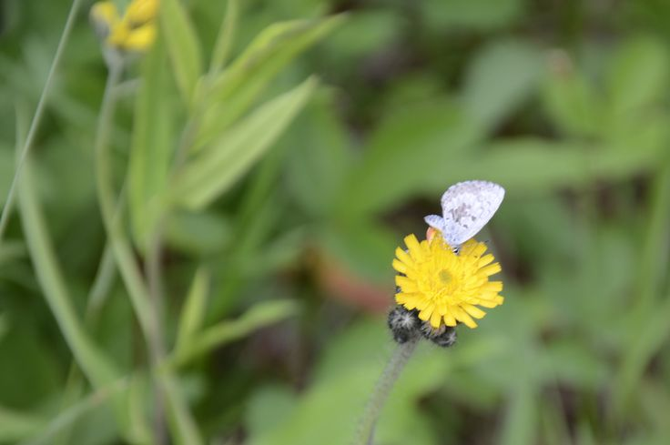 Northern Spring Azure - Celastrina lucia