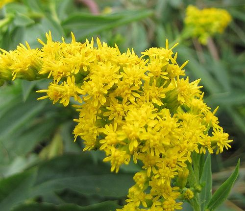 Kentucky State Flower and Tree | Goldenrod is the state flower of Kentucky.