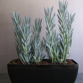 Kamerplant Vetplant Senecio Mount Everest Succulents
