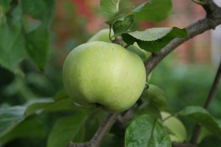 Die Apfelsalbe ist nicht so bekannt, aber sehr leicht herzustellen. Dieses Rezept ist von 1788 und wurde mit Schweineschmalz hergestellt. In jüngeren Rezepten nahm man dann ungesalzene Butter. Sie …