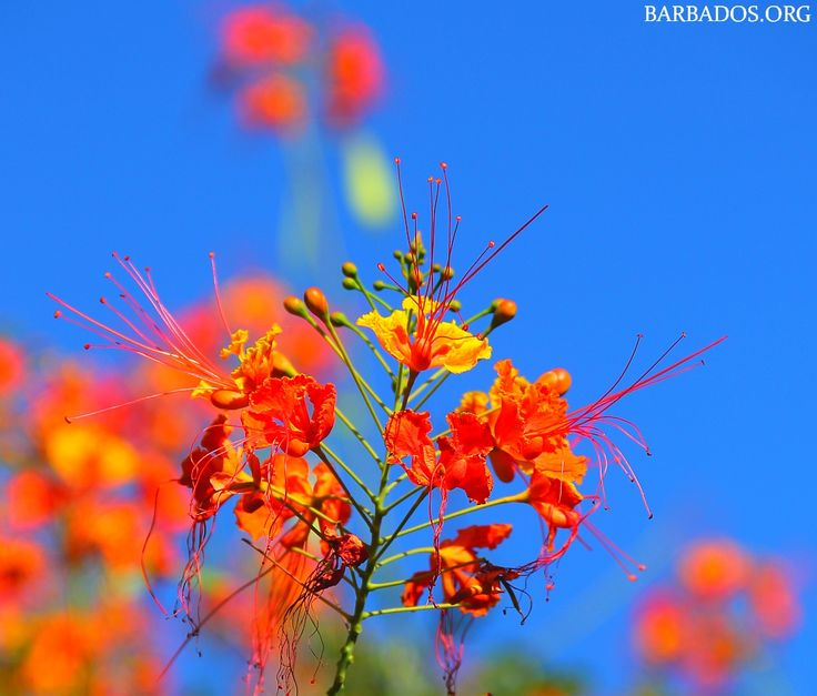 So beautiful we had to share :) The Pride of Barbados flower